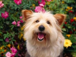 Cairn_Terrier_dog
